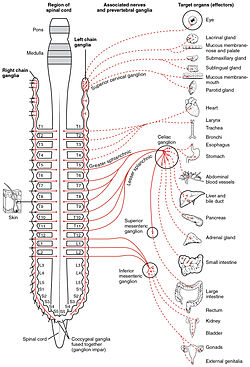 Sympathetic_Nervous_System