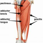 Adductor Group of Muscles