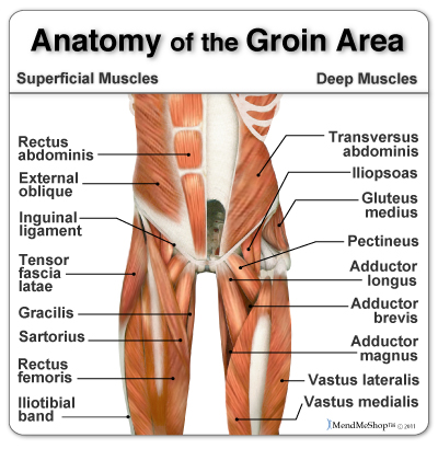 groin-muscles