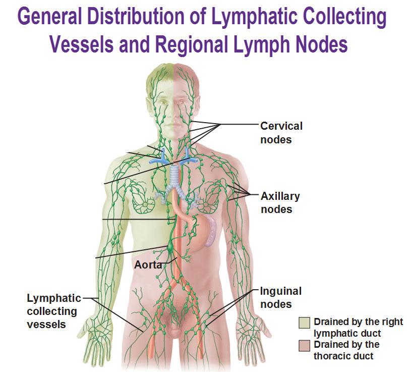 lymph-nodes-1