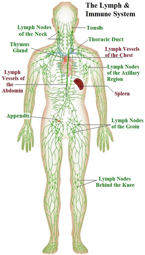 lymphatic-system-immune-system