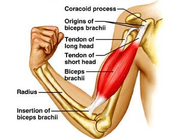 Copy of Biceps-Tenodesis