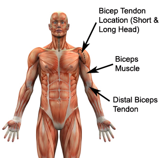 Long Head Biceps Tendon