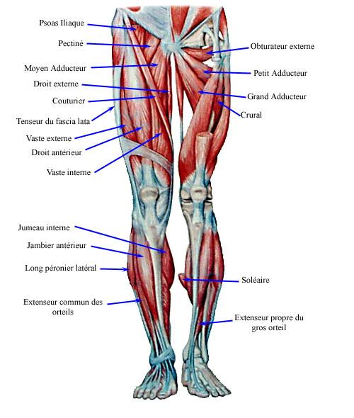 back leg muscles