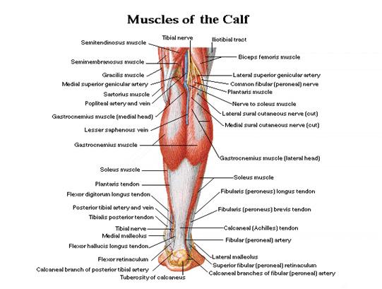 calfs back