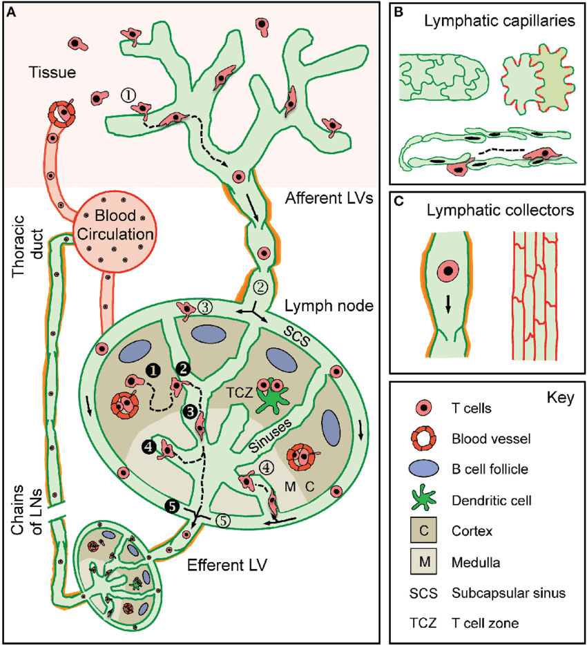 The lymphatic system ● Made up of an extensive network of: ○ vessels ○ glands ○ ducts ○ nodes ○ passes through almost all of the tissue in the human body, including the brain. ● Allows for the collection and transport of lymph fluid. ● Lymph fluid is made up of a variety of substances. ○ proteins, fats, salts, glucose, water, cellular debris, and white blood cells.